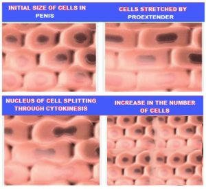 penis cells multiplication